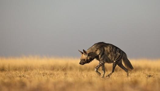 Młode hieny w natarciu, czyli krótki tekst o obojętności