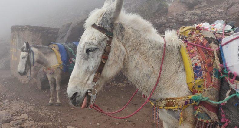 muły w drodze do schroniska